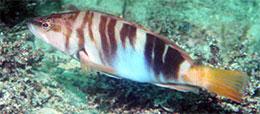 Морская рыбалка в Крыму - Каменный окунь