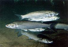 Морская рыбалка в Крыму - Кефаль