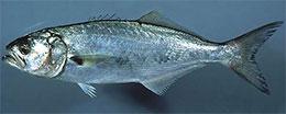 Морская рыбалка в Крыму - Луфарь