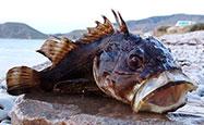 Морская рыбалка в Крыму - Морской ерш