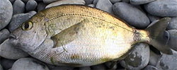 Морская рыбалка в Крыму - Морской карась